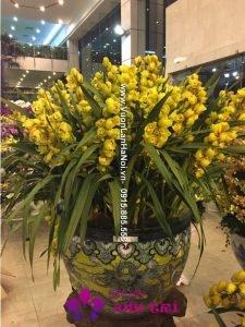 Chậu hoa địa lan màu vàng JSC mới