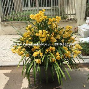 Chậu hoa địa lan 39 cành tặng khai trương