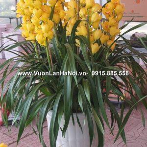 Chậu hoa địa lan Tết - Xuân thịnh vượng