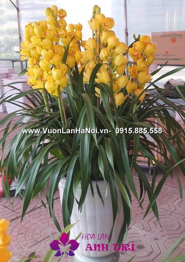 Hoa-lan-ho-diep-Anh-Tri (10)