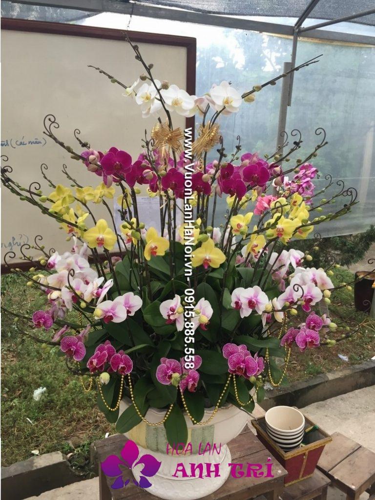 Chậu hoa lan hồ điệp hội nghị đa sắc màu