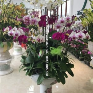 Chậu hoa lan đa sắc Tết - Lộc Phát