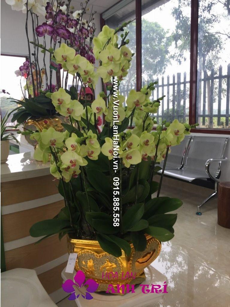 Chậu hoa lan Tết - đón Xuân tài lộc
