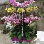 Chậu hoa Tết - Hồ điệp đa sắc 3 tầng