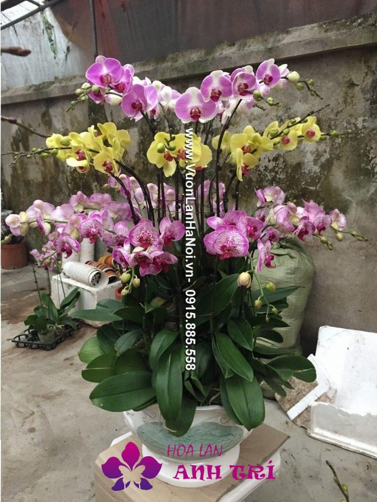 Hoa-lan-ho-diep-Anh-Tri (128)