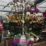 Chậu hoa lan hồ điệp đa sắc 2 tầng
