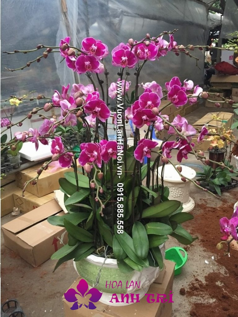 Hoa-lan-ho-diep-Anh-Tri (137)
