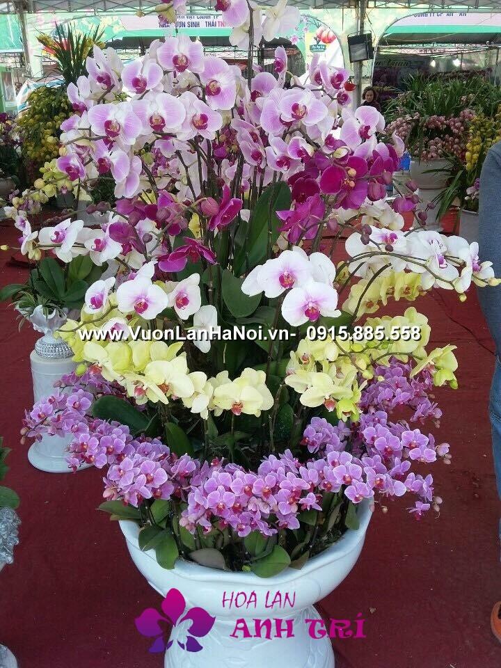 Hoa-lan-ho-diep-Anh-Tri (164)