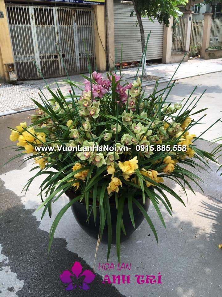 Hoa-lan-ho-diep-Anh-Tri (2)