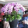 Chậu hoa lan hồ điệp màu hồng đào