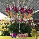Chậu hoa lan đa sắc Tết - Xuân sang