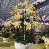 Chậu hồ điệp màu vàng chanh đón Xuân