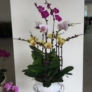 Chậu hoa lan hồ điệp Tết đa sắc đẹp