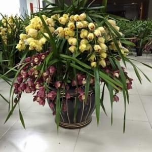 Chậu hoa địa lan hội nghị 2 tầng tím vàng