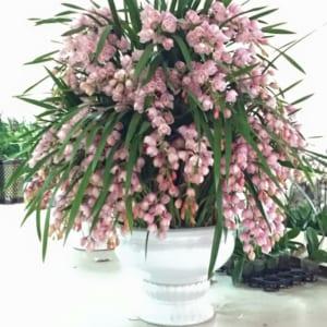 Chậu hoa địa lan sự kiện màu hồng đào