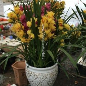 Chậu hoa địa lan 2 màu - Thần tài gõ cửa