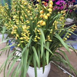 Chậu hoa địa lan Tết 30 cành màu vàng chanh