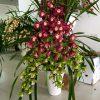 Chậu hoa địa lan 2 màu xanh và tím