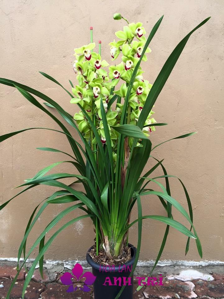 Hoa địa lan màu xanh ngọc tuyệt đẹp